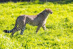 Gepard-fødsel i Dyreparken