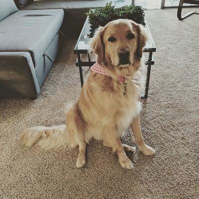 Dog_dog_is_ready_for_her_first_day_of_work_sofreshsoclean_officedogs_goldenretriever_goldensofinstagram_dogsofbrandfolde.jpg - LauraHamelTest file