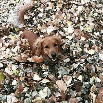 Has_anyone_seen_my_puppy_I_seem_to_have_lost_her......fall_golden_leaves_retriever_goldenretriever_goldensofinstagram_oc.jpg - LauraHamelTest file